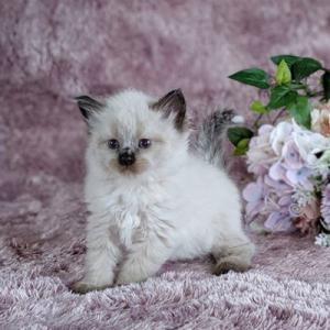 サイベリアン&ネヴァマスカレード やんちゃんの子猫たち生後1か月になりました。