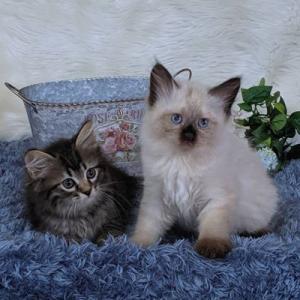 やんちゃんの子猫たちもうすぐ2か月!  サイベリアン&ネヴァマスカレード