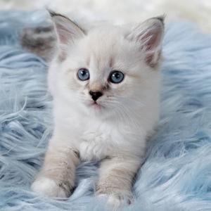 ぷっぱちゃんの子猫たちみんなオーナーさんが決まりました。 サイベリアン&ネヴァマスカレード