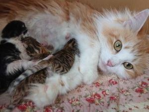 7月28日にらぶちゃんの子猫が生まれました。  アンバーノルウェージャン