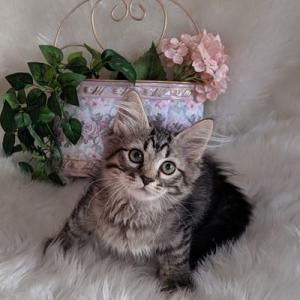 やんちゃんの子猫 あと1匹お家を募集中です。 サイベリアン