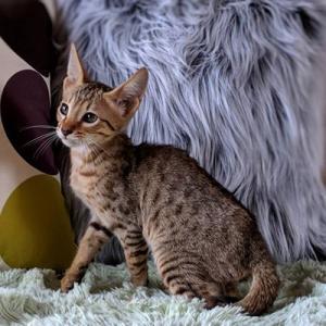 シトリンの娘たち!  サバンナ子猫