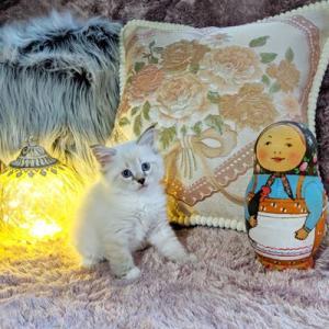 ぷっぱちゃんの子猫たち マトリョーシカと一緒に、、、、  サイベリアン