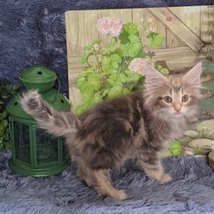 アレクサンドリーヌの仔猫たち生後2か月  アンバーノルウェージャン