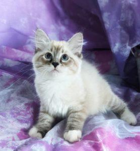 ぷっぱちゃんの子猫 あと1匹新しいお家を募集中です。