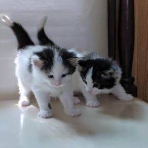 アクアマリンの子猫たちしっかりしてきました。 ふわもこ。