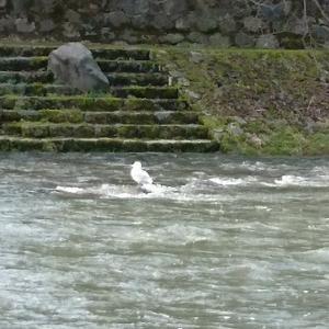 浅野川にいるのは。
