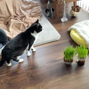 猫草を一生懸命もぐもぐする猫の口もとと鼻のシワがかわいい