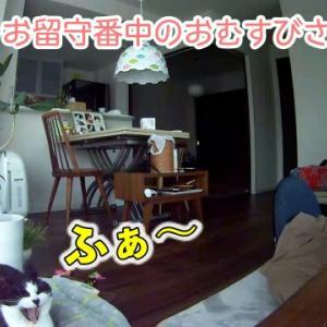 お留守番からころりんでお出迎えする猫→夕ご飯までのルーチン紹介