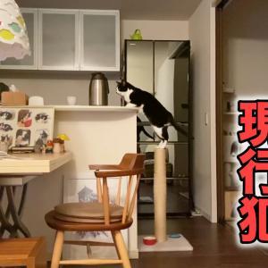 猫のかわいい言いワケとお膝乗りに、怒れなくなる飼い主