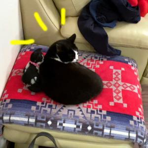 猫がぬいぐるみと密着している様子がかわいい【先代ムスビさん】
