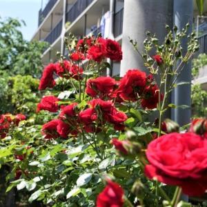 紅い薔薇の群れ