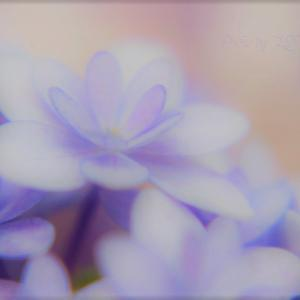 エアリーな紫陽花