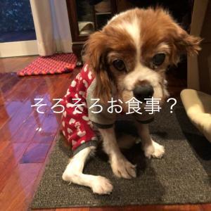 【キャバリアレスキュー隊 ケア中 ディブ】ごはんまだ〜?