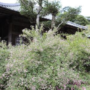 【YouTube 更新】鎌倉の旬な動画は速攻で。萩の美しい海蔵寺動画をどうぞ。