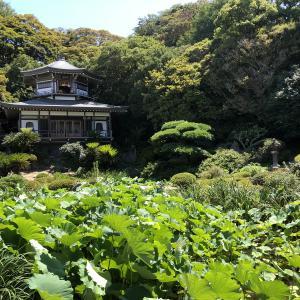 【鎌倉いいね】光明寺にて。蓮は咲いていないけど観蓮会?