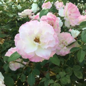 キャンベラの薔薇 その2