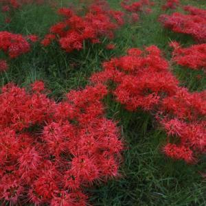 「桂浜園地」のヒガンバナが咲き始めている模様。昨年の様子をご紹介! 周辺のグルメや観光地も / 高島市今津町