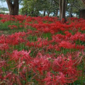 「桂浜園地」のヒガンバナが咲き始めています。以前撮影した写真をご紹介!/ 高島市