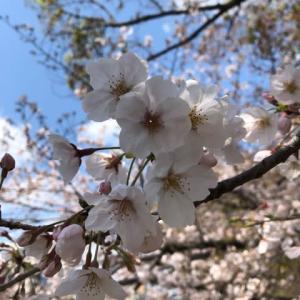 サクラが満開 広島市を流れる京橋川のリバーサイド 午後の昼下がり