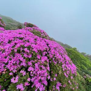 508)_ミヤマキリシマの鮮やかなピンク色に誘われて何度も訪れてしまうのです( ^∀^)