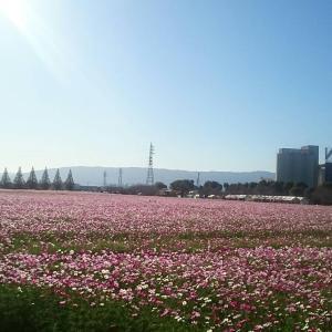 朝倉市 キリンビール福岡工場 コスモス開花状況(2019年10月16日現在)