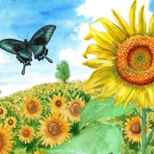 ひまわり畑をカラスアゲハが飛ぶ。