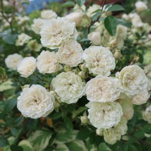庭パト☆クレマチス、ちょっとバラ。