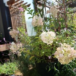 庭パト☆最後の紫陽花とノリウツギ、クレマチス2番花。