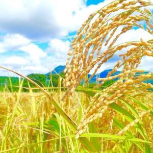自然の恵みの後の、稲渋が……
