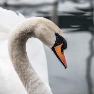 白鳥が外来種なの?