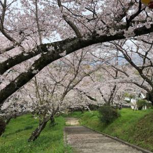 桜はきれいに咲いていますがーー)