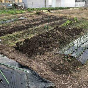 人参の片付けとキャベツに肥料