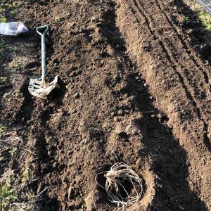 草たくさん抜いてアスパラガスと人参植える