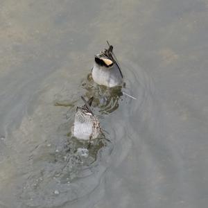 川でシンクロナイズドスイミング?!
