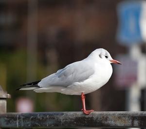 尼崎の冬の風物詩「ユリカモメ」