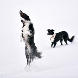 シニア犬の雪遊びの危険性