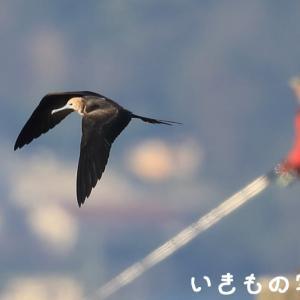コグンカンドリ ~釣り人シリーズ~