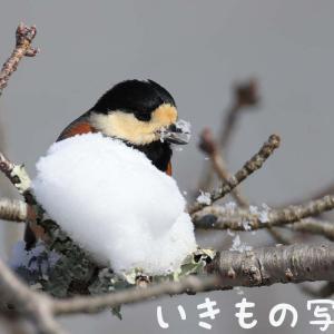 雪の日の野鳥 ~ ヤマガラ ~