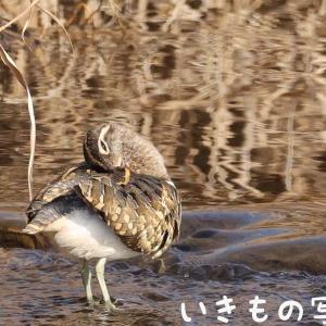 タマシギの羽繕い