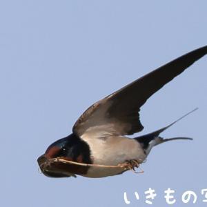 巣材を空輸中