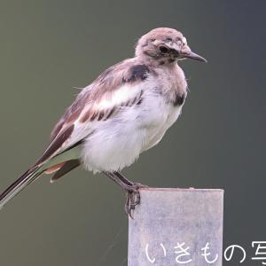 この鳥は何?(2)