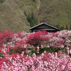 花桃の里 月川