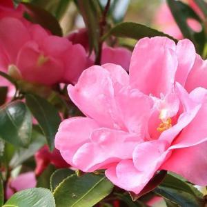 椿と山茶花、見分けられます?