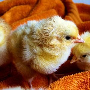 鶏始乳(にわとりはじめてとやにつく)――コロナウイルスだけでなく、鶏も中国から伝来しました。