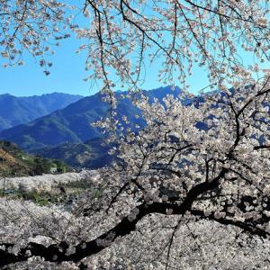 桜始開(さくらはじめてひらく)