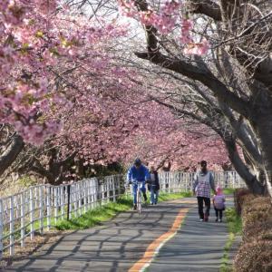 河津桜の小糸川ジョギング 1521