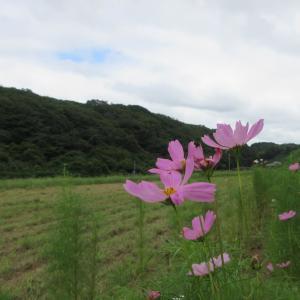 秋桜(コスモス)の三舟の里、郡ダム・ジョギング 1604