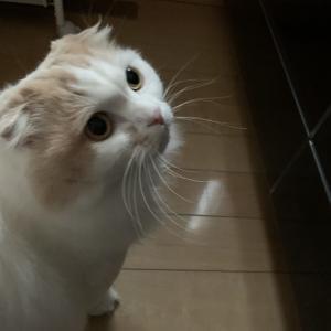かわいい猫動画 ハル君 今日も絶好調