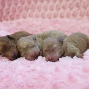 プードル赤ちゃんたち、3兄妹出産しました♡